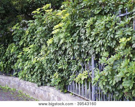 Plants On Fence