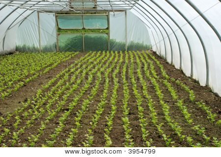 Greenhouse With Rows Of Flat Parsley Growing