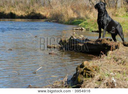 Black Labrador Retriever By The Water Edge