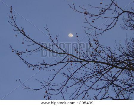 Moon Thru Treebranch