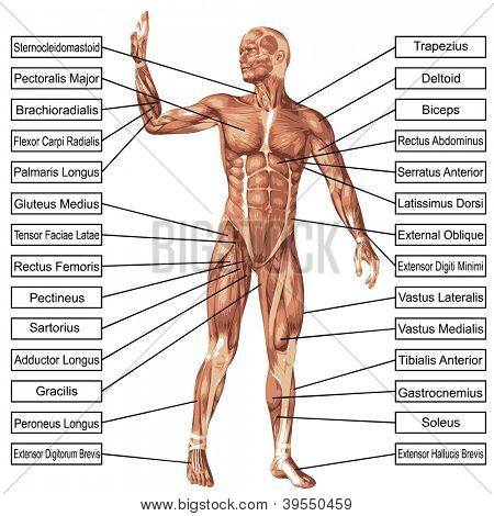 High resolution concept or conceptual 3D human anatomy and muscle isolated on white background as metaphor to body,tendon,spine,fit,builder,strong,biological,skinless,shape,posture,health or medical