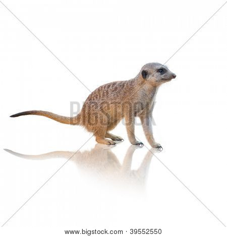 Meerkat Walking Isolated On White Background