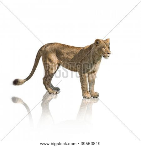 Portrait Of Lion On White Background