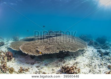 large healthy table coral