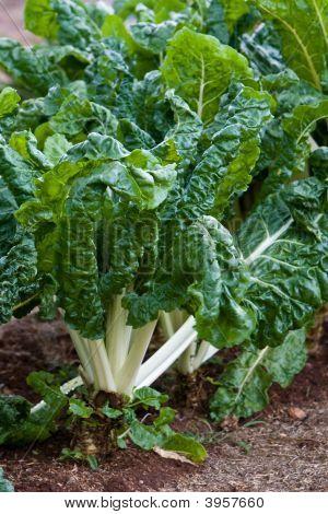 Silverbeet de espinacas en jardín