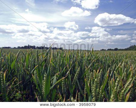 Unripen Wheat