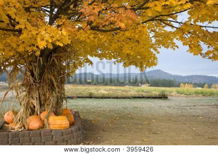 Cornstalks And Pumpkins Under A Tree.