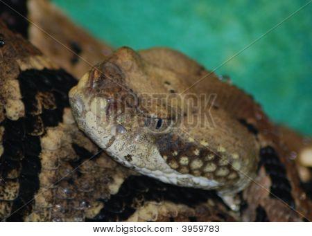 Timber Rattlesnake Portrait