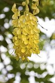 pic of vishu  - view of golden shower tree flowers in summer - JPG
