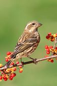 stock photo of bittersweet  - Female Purple Finch  - JPG