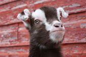 foto of baby goat  - Close up of a baby goat - JPG