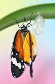 image of chrysalis  - Butterfly under the leaf after emerging from chrysalis - JPG