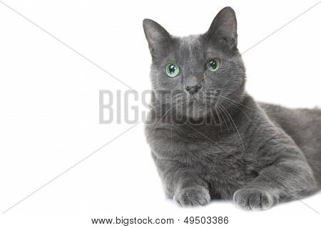 Russian Blue Cat Lying On Isolated White