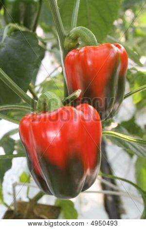 Green And Red Peppers
