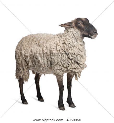 Suffolk Sheep - (6 Years Old)
