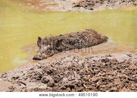 Large Dirty Black Wild Pig Laying In The Mud