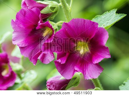 Pink Hollyhocks with Green Bokeh