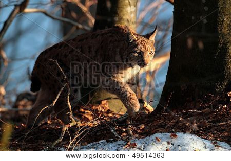 Wild lynx into the forest