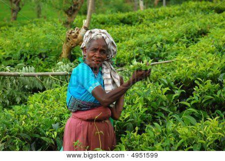 Lady Tea Plucker At The Plantation