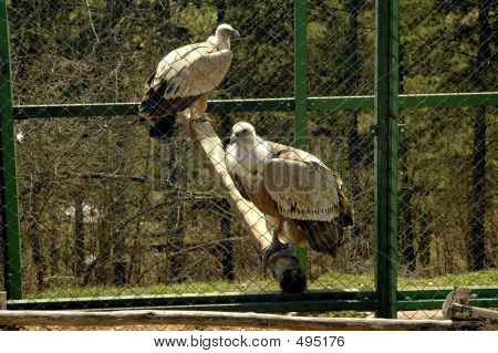 Eagles In A Cage