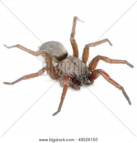 Spider (Haplodrassus Signifier) Isolated On White Background