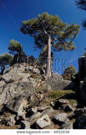 European Mediterranean Pine On Rock