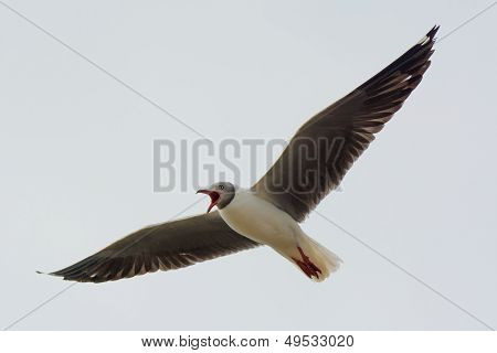 Grey-headed Gull Screaming