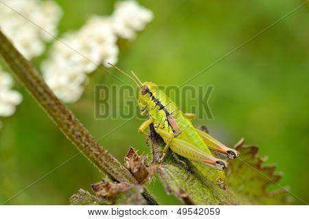 grasshopper (locusta viridissima) outdoor