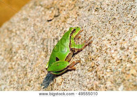 european tree-frog (Hyla Arborea)
