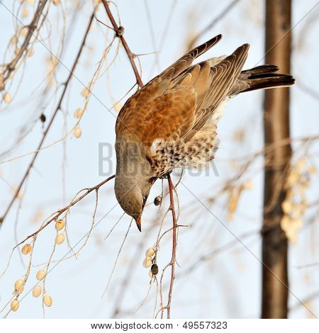 thrush on branch in winter (Turdus Obscurus)