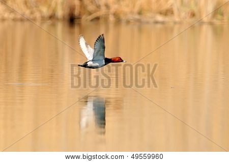 wild duck flying