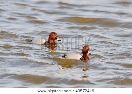 ducks on the lake (aythya ferina)