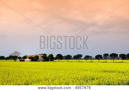 Panoramic View Of Mustard Plants In Umbria, Italy