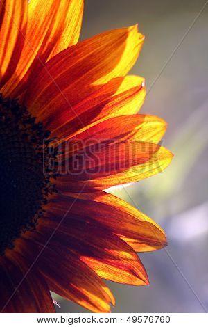 The Sunflower (helianthus)