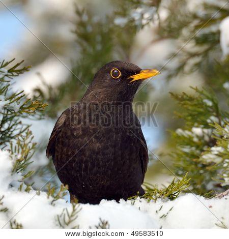 blackbird in natural habitat (turdus merula)