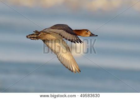 wild duck in natural habitat (aythya ferina)