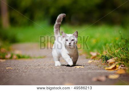 munchkin kitten outdoors