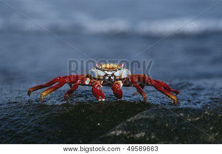 Ecuador Galapagos Islands Sally Lightfoot Crab on rock close up