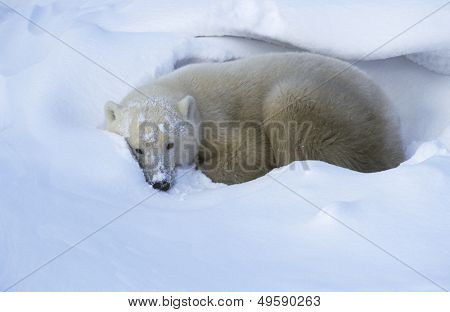 Canada Churchill Polar Bear lying in snow