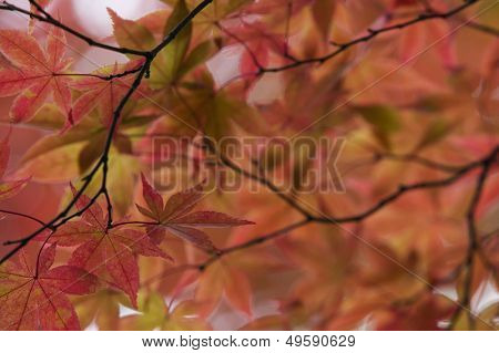 Japan Nikko Rinnoji Temple Maple tree in Fall colors close-up