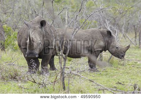 Two Rhinoceros stand in African plains