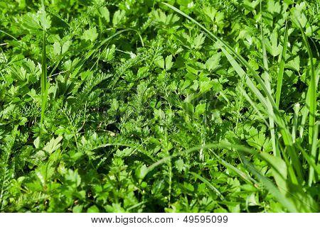 Wet Green Lawn Grass Close Up
