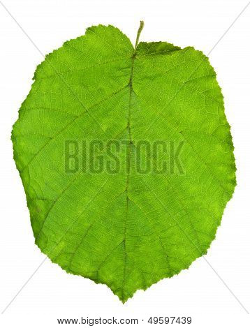 Hoja verde del árbol de Hazel