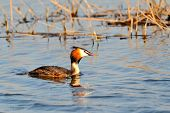 picture of great crested grebe  - water bird on the water  - JPG