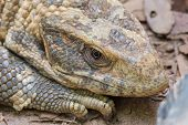 foto of monitor lizard  - A Close-up of a Savannah Monitor Lizard