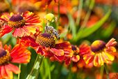 Honey Bee Sips Nectar From Gaillardia Flower