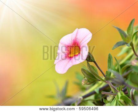 Close shot of a nice petunia