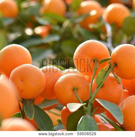 orange grow on tree