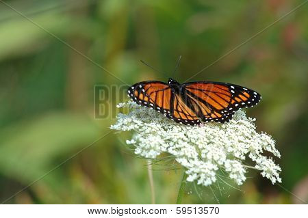 Monarch butterfly is resting on flower