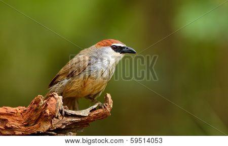Chestnut-capped Babbler
